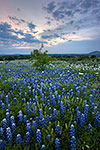Twilight Blues - Texas Wildflowers, Bluebonnets at Sunset by Gary Regner