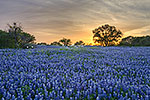 Good Friday - Texas Wildflowers, Hill Country Bluebonnets at Sunset by Gary Regner