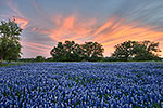 Light Show - Texas Wildflowers, Hill Country Bluebonnets at Sunset by Gary Regner