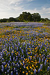Blue and Gold - Texas Wildflowers, Bluebonnets by Gary Regner