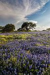 Cumulonimbus - Texas Wildflowers, Bluebonnets by Gary Regner