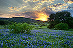 Rays of the Sun - Texas Wildflowers, Hill Country Bluebonnets at Sunset by Gary Regner