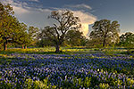 Golden Hour - Texas Wildflowers, Hill Country Bluebonnets at Sunset by Gary Regner
