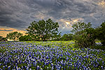 Breaking Through - Texas Wildflowers, Bluebonnets by Gary Regner