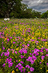 Wilson County Wildflowers- South Texas Wildflowers, Phlox and Bladderpod by Gary Regner
