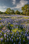 Llano County Wildflowers - Texas Hill Country Wildflowers, Bluebonnets by Gary Regner