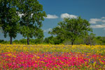 Flamboyant - Texas Wildflowers, Phlox and Groundsel by Gary Regner