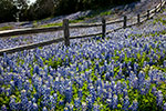 On the Fence - Texas Wildflowers, Hill Country Bluebonnets and Fence by Gary Regner