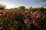 Rose Poppy - Texas Wildflowers, Prickly Poppies by Gary Regner