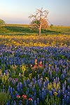 Complementary Colors - Texas Wildflowers, Bluebonnets at Sunset by Gary Regner