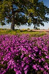 A Multitude of Phlox - Texas Wildflowers, Phlox by Gary Regner