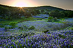 Hillside Blues - Texas Wildflowers, Hill Country Bluebonnets at Sunset by Gary Regner