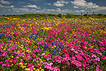 Wildflower Fiesta - Texas Wildflowers, Phlox by Gary Regner