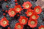 Claret Cup Cactus - by Gary Regner