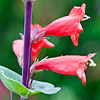 Texas wildflower - Scarlet Beardtongue (Penstemon murrayanus)