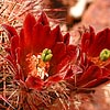 Texas wildflower - Brown-Flowered Cactus (Echinocereus chloranthus)