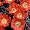 Texas wildflower - Claret Cup Cactus (Echinocereus triglochidiatus)