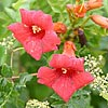 Texas wildflower - Trumpet Creeper (Campsis radicans)