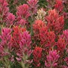Texas wildflower - Prairie Paintbrush (Castilleja purpurea)
