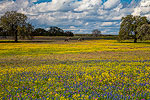 Texas Wildflowers Gallery - Spring 2015