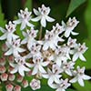 Texas wildflower - Aquatic Milkweed (Asclepias perennis)
