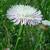 Texas wildflower - Basket Flower (Centaurea americana)