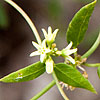 Texas wildflower - Bearded Swallow-wort (Cynanchum barbigerum)