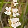 Texas wildflower - Beard-tongue (Penstemon albidus)