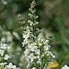 Texas wildflower - Bee-Brush (Aloysia gratissima)
