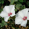 Texas wildflower - Texas Bindweed (Convolvulus equitans)