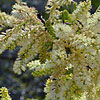Texas wildflower - Blackbrush Acacia (Acacia rigidula)