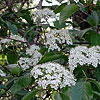 Texas wildflower - Black-Haw (Viburnum rufidulum)