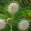 Texas wildflower - Buttonbush (Cephalanthus occidentalis)