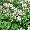 Texas wildflower - White Clover (Trifolium repens)