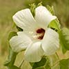 Texas wildflower - Crimson-eyed Rosemallow (Hibiscus moscheutos)