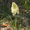 Texas wildflower - Death Camas (Zigadenus Nuttallii)