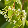 Texas wildflower - Dogbane (Apocynum cannabinum)
