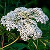Texas wildflower - Elderberry (Sambucus canadensis)