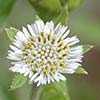 Texas wildflower - False Daisy (Eclipta prostrata)