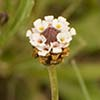 Texas wildflower - Frog Fruit (Lippia nodiflora)