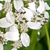 Texas wildflower - Frostweed (Verbesina virginica)