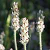 Texas wildflower - Indian Wheat (Plantago helleri)
