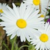 Texas wildflower - Lazy Daisy (Aphanostephus sp.)