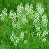 Texas wildflower - Pepper Grass (Lepidium virginicum)
