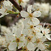 Texas wildflower - Mexican Plum (Prunus mexicana)