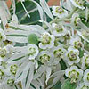 Texas wildflower - Snow-on-the-Mountain (Euphorbia marginata)