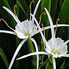 Texas wildflower - Spider Lily (Hymenocallis liriosme)