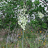 Texas wildflower - Twist-Leaf Yucca (Yucca rupicola)