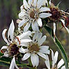 Texas wildflower - White Rosin-weed (Silphium albiflorum)