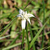 Texas wildflower - White-top Sedge (Rhynchospora colorata)
